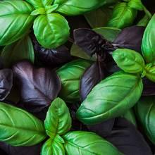 Un mélange subtil de basilic vert et de basilic pourpre à la saveur légèrement plus épicée.